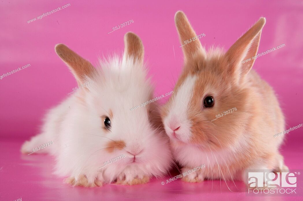 Imagen: Dwarf rabbit. Two young rabbits next to each other. Studio picture against a pink background.