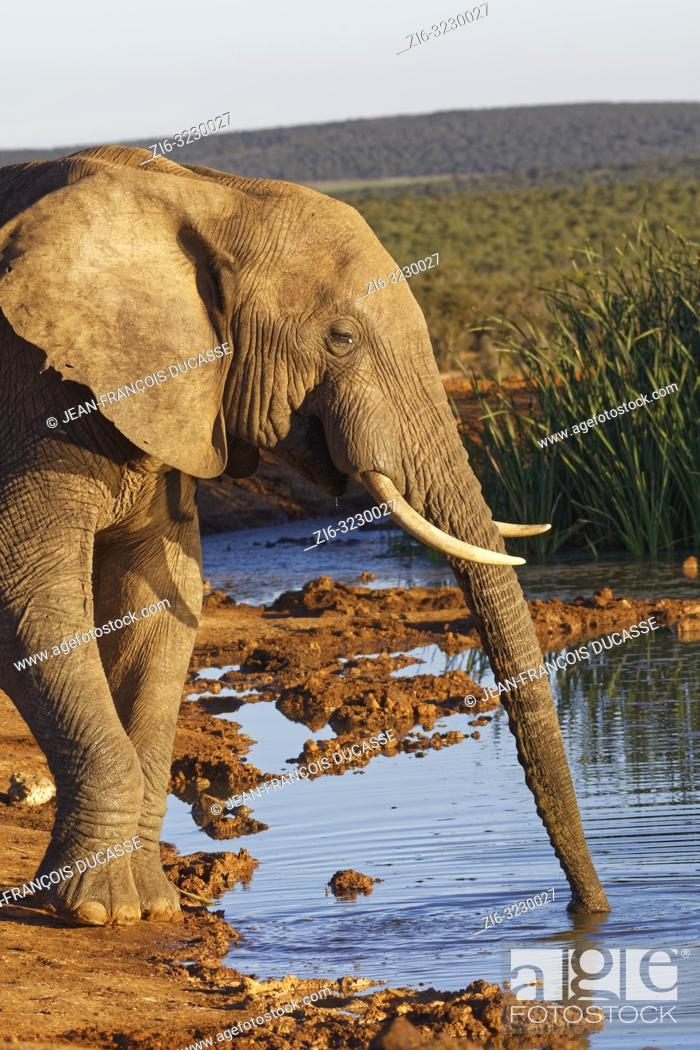 Imagen: African bush elephant (Loxodonta africana), adult male, drinking at a waterhole, evening light, Addo Elephant National Park, Eastern Cape, South Africa, Africa.