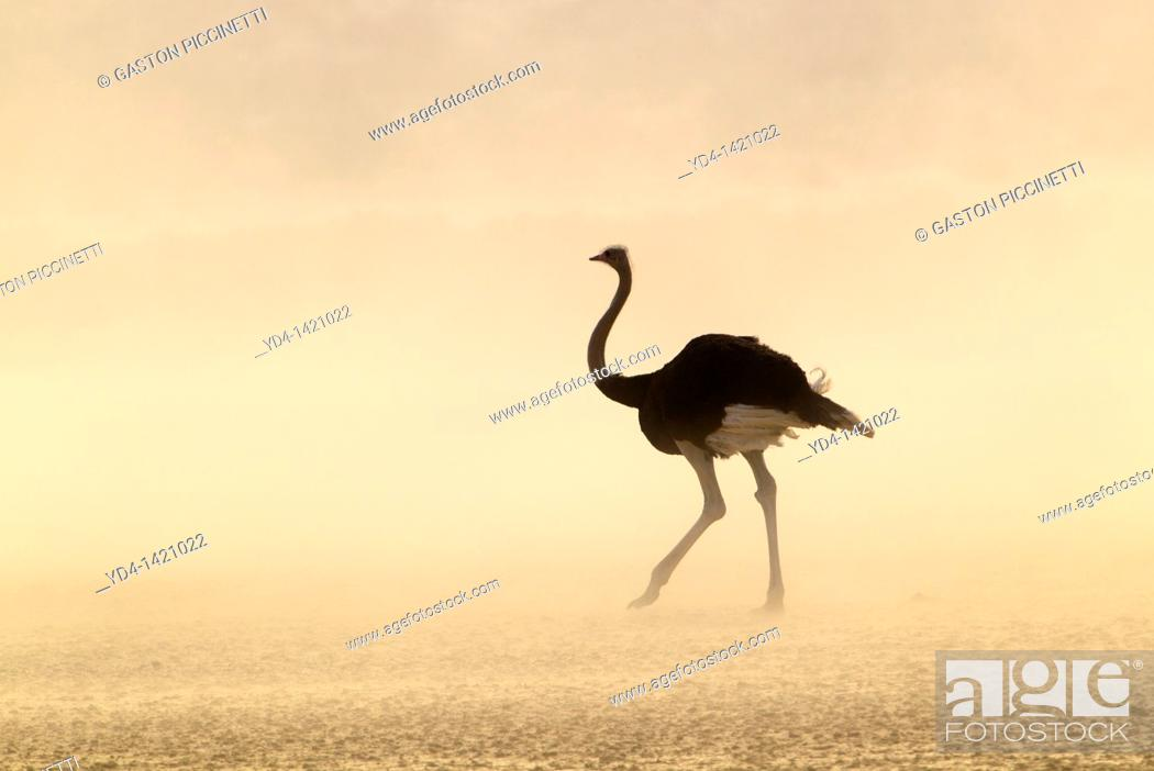 Stock Photo: Common Ostrich Struthio camelus, in a sand storm, Kgalagadi Transfrontier Park, Kalahari desert, South Africa.
