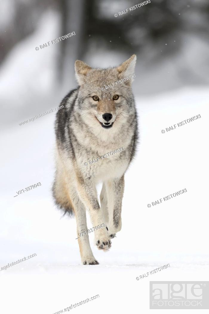 Stock Photo: Coyote / Kojote ( Canis latrans ) in winter, high snow, in a hurry, running, frontal view, seems to be happy, looks funny, Yellowstone NP, Wyoming, USA.