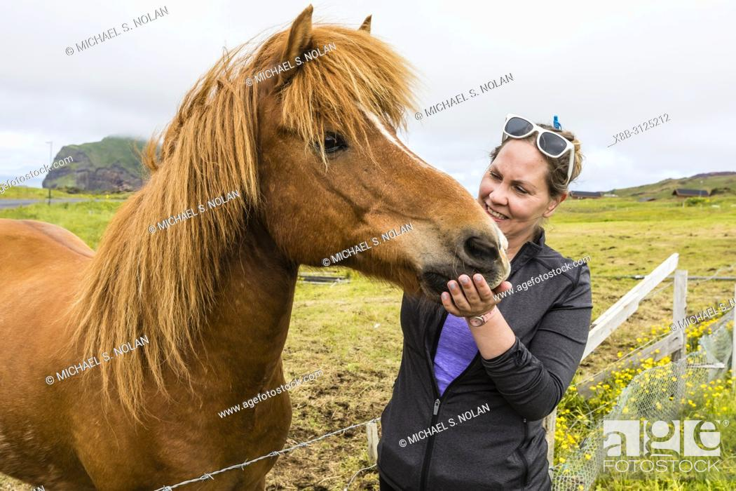 Imagen: A local guide with an Icelandic horse, Heimaey Island, in the Westman Island Group, Iceland.