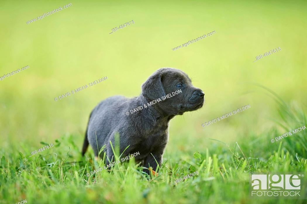 Stock Photo: Black Labrador Retriever, pup on a meadow looking curious, Germany.