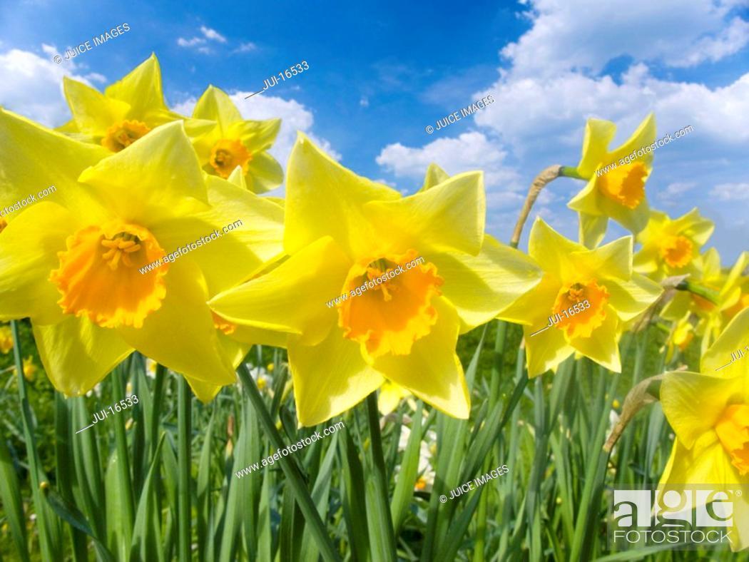 Stock Photo: Close up of yellow daffodil.