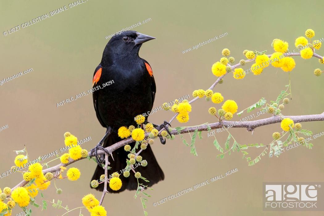 Stock Photo: Agelaius phoeniceus, Red-winged Blackbird.