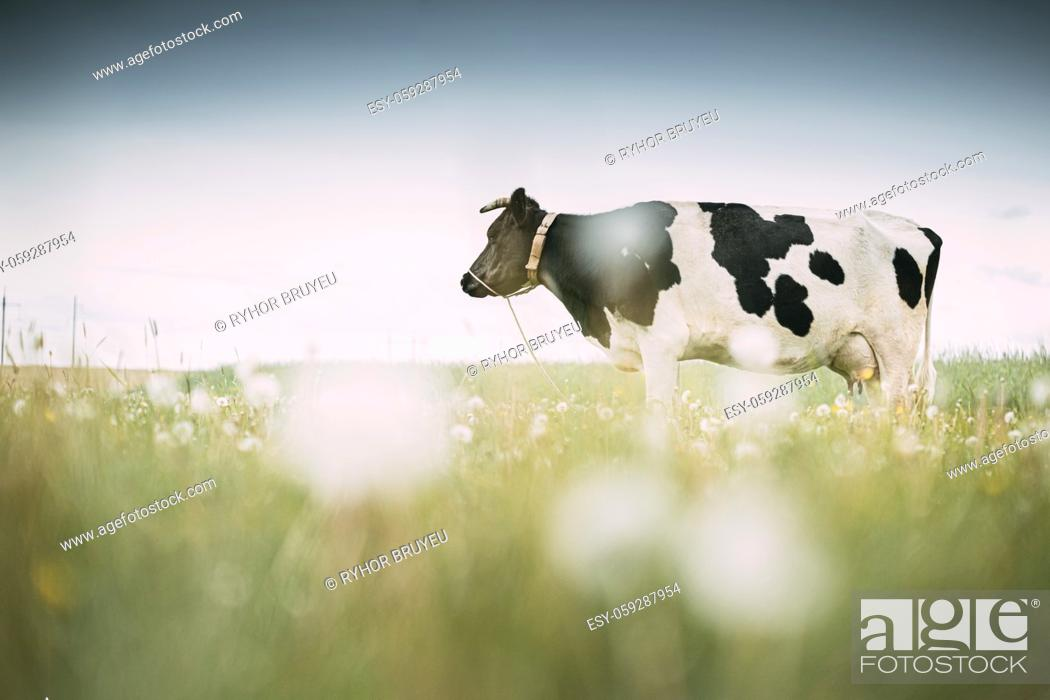 Stock Photo: Black And White Cow Eating Grass In Spring Pasture. Cow Grazing On A Green Meadow In Spring.