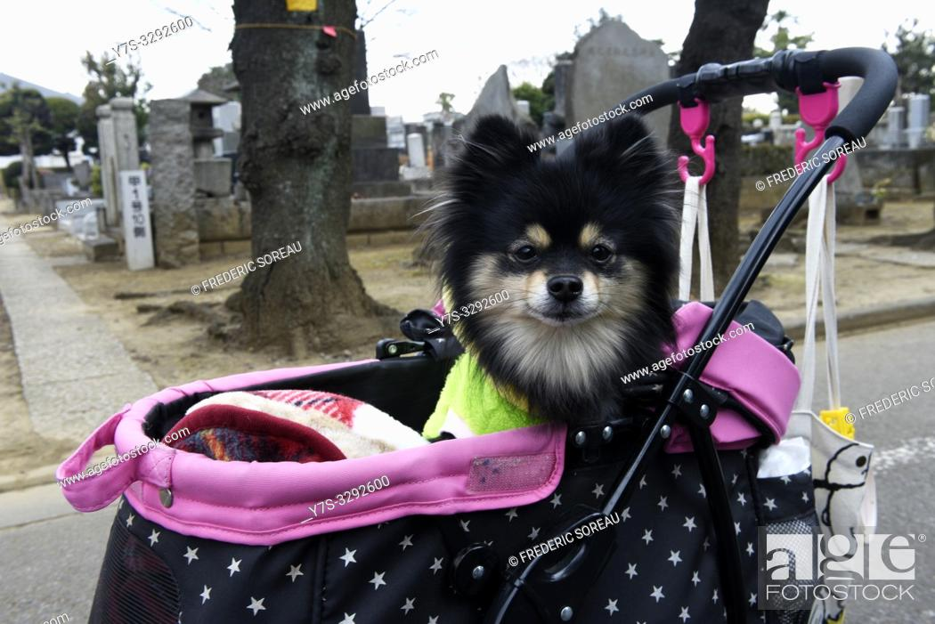 Stock Photo: Poodle in a dog stroller, Yanaka, Ueno, Tokyo, Japan, Asia.