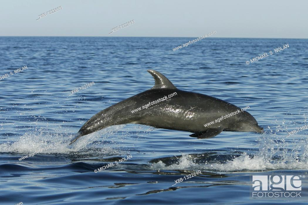 Stock Photo: Off shore Bottlenose Dolphin Tursiops truncatus in deep offshore waters of the northern Gulf of California Sea of Cortez, Mexico.