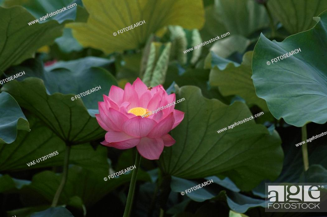 Stock Photo: The Flower Of A Lotus.
