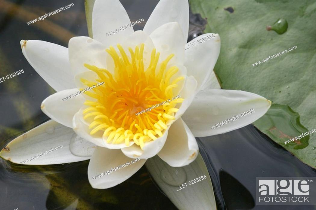 Stock Photo: White water lily Nymphaea alba  Joensuu, Finland.