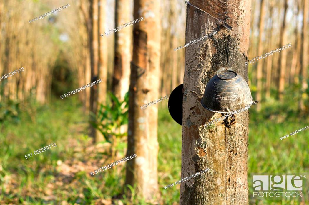 Stock Photo: Cup of Tapping sap from the rubber tree.