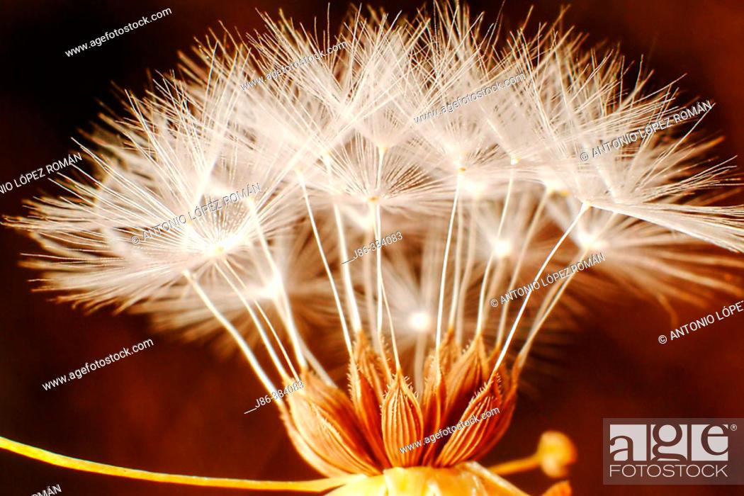 Stock Photo: Composite flower seeds.