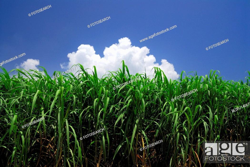 Stock Photo: Sugarcane.