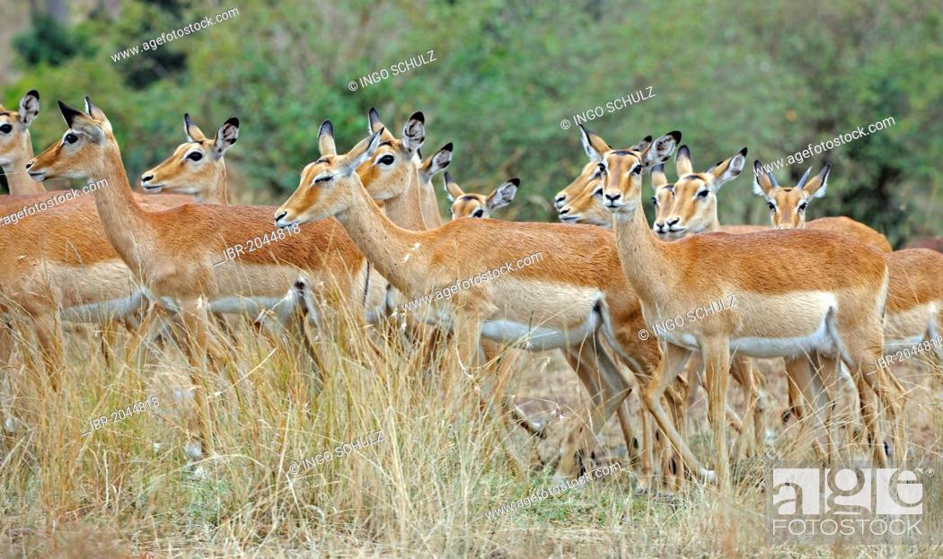 Imagen: Impala antelopes (Aepyceros melampus), Masai Mara Game Reserve, Kenya, East Africa, Africa.