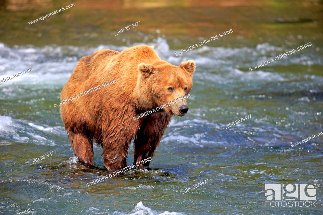 Photo de stock: Grizzly Bear (Ursus arctos horribilis) adult, foraging in the water, Brooks River, Katmai National Park and Preserve, Alaska, United States.