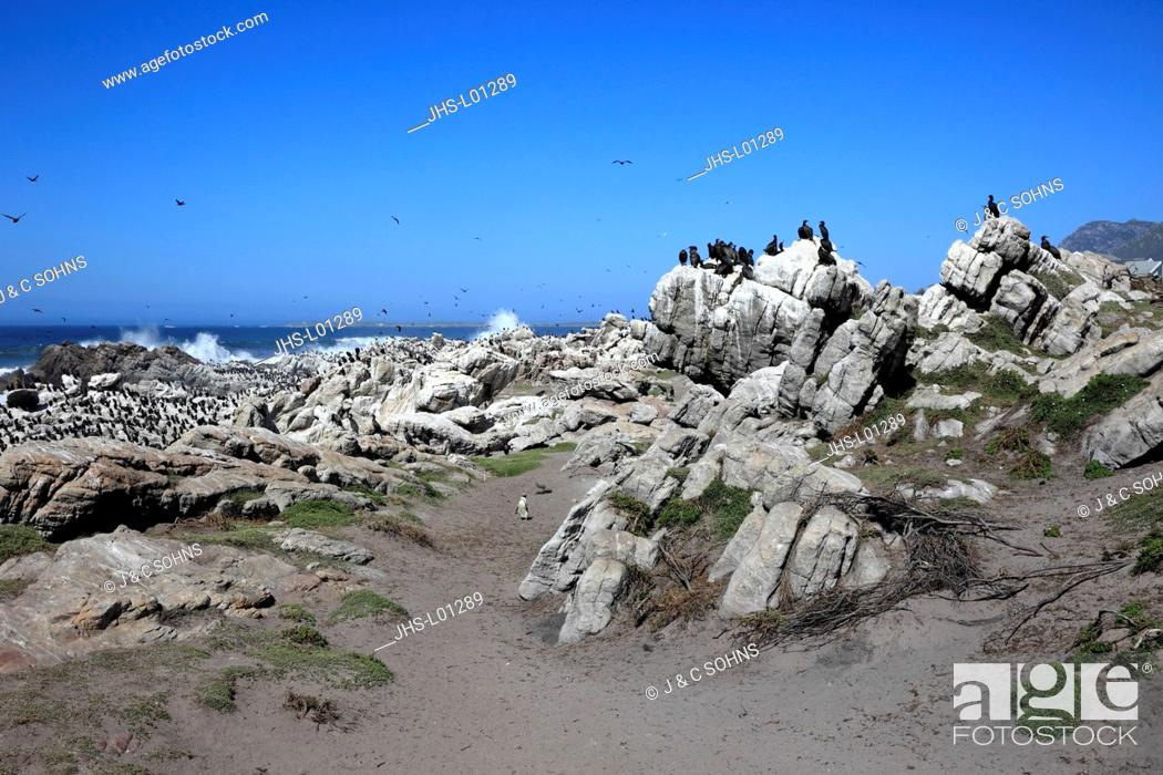 Stock Photo: Stony Point, colony of seabirds, Betty's Bay, Western Cape, South Africa, Africa.