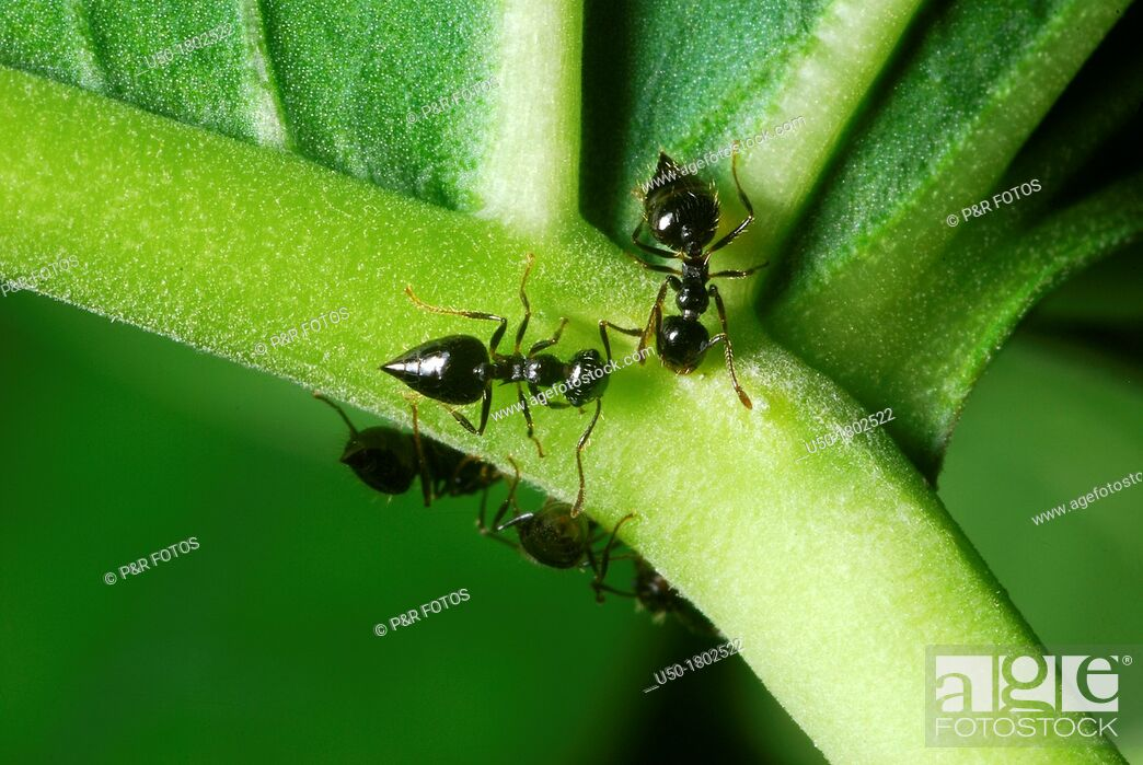 Stock Photo: Ants collecting nectar on nectary  Formicidae, Hymenoptera  2012.