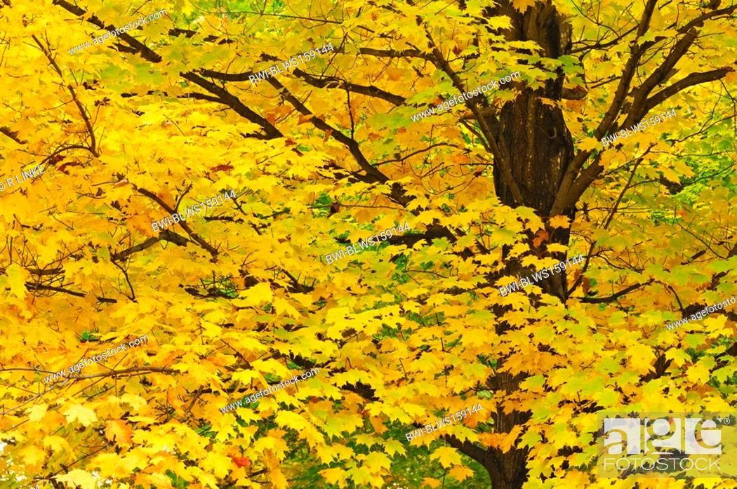 Stock Photo: maple Acer spec., in autumn colours, USA, New England, New Hampshire.