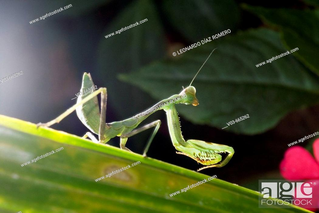 Stock Photo: Praying Mantis.