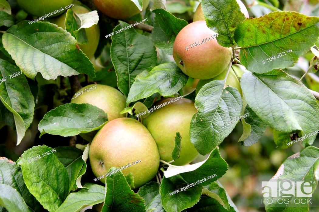 Stock Photo: Apples growing in fruit tree close up. England UK.