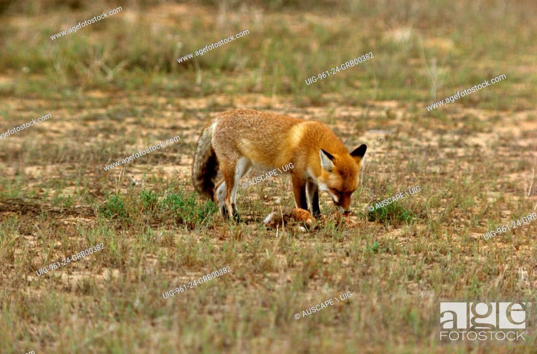 Stock Photo: Red fox, Vulpes vulpes, Kinchega National Park, far western New South Wales, Australia. (Photo by: Auscape/UIG).