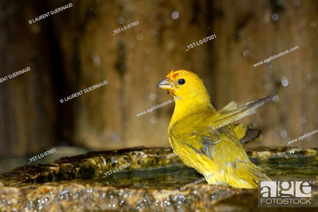 Stock Photo: Bird, canário-da-terra, Ilha do Mel, Encantadas, Paraná, Brazil.