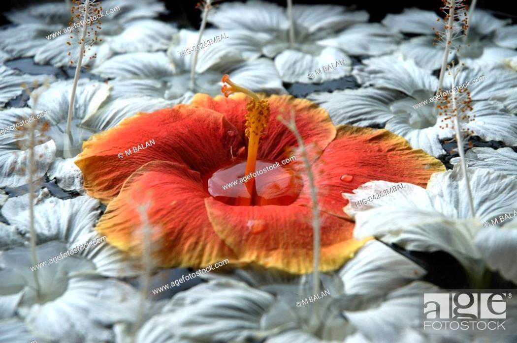 Stock Photo: HIBISCUS FLOWERS ON STONE TANK.