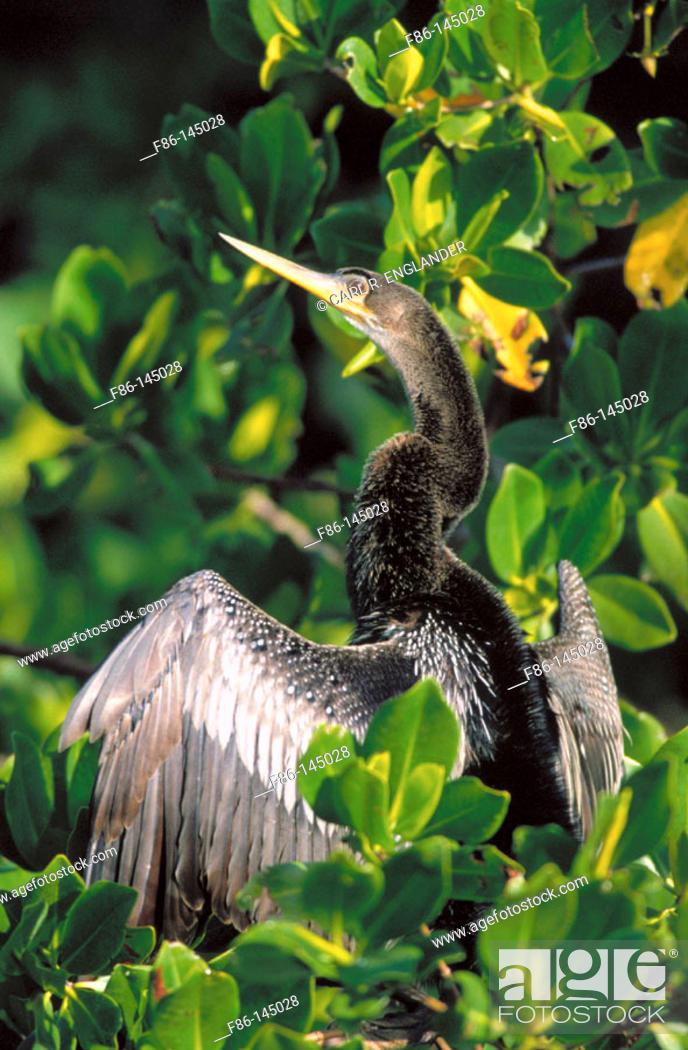 Stock Photo: Anhinga (Anhinga anhinga) on Red Mangrove. Florida. USA.