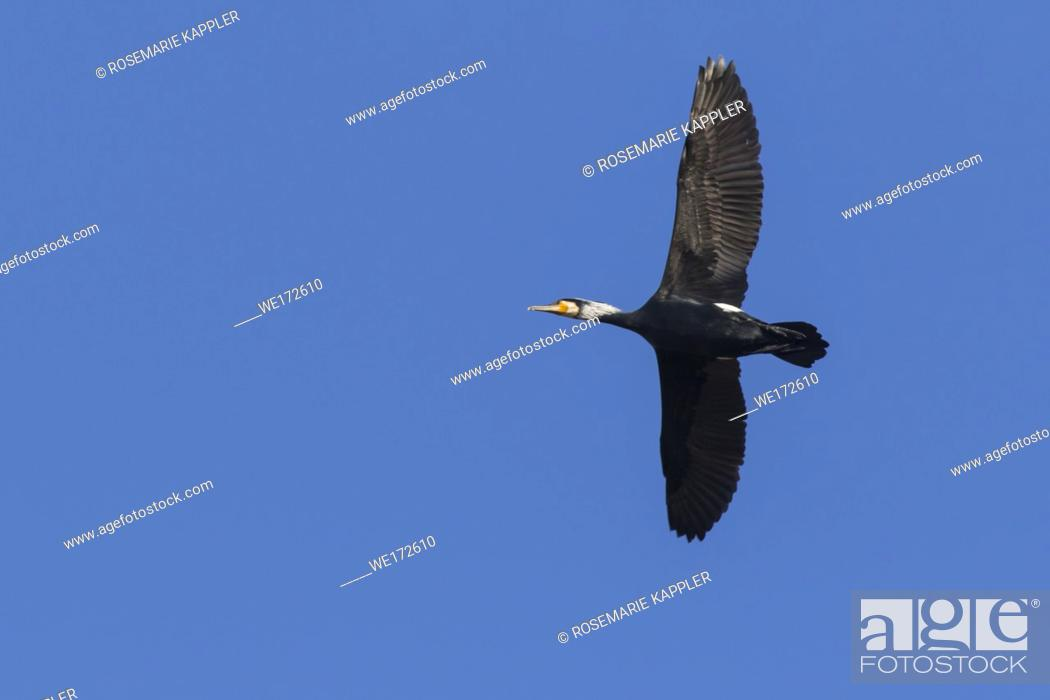 Imagen: Germany, Saarland, Homburg - A cormorant on a sea near Dillingen in germany.