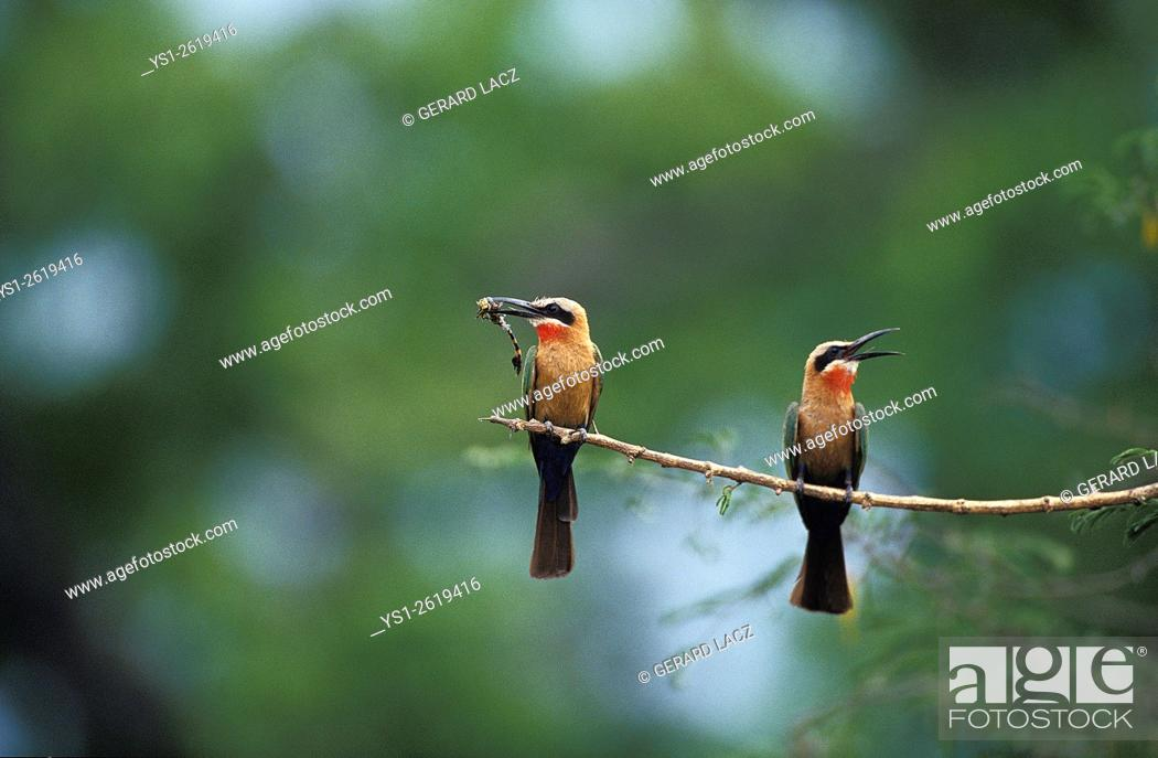Imagen: White Fronted Bee Eater, merops bullockoides, Adults standing on Branch, Eating Insect, Kenya.