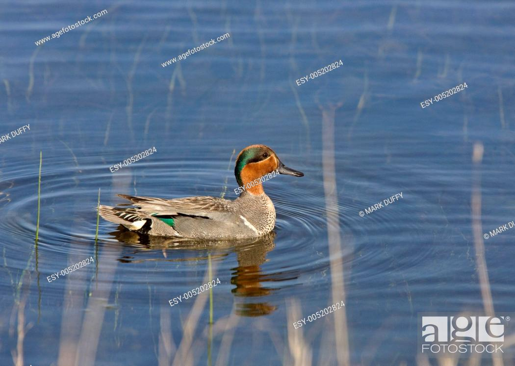 Stock Photo: Green Winged Teal.