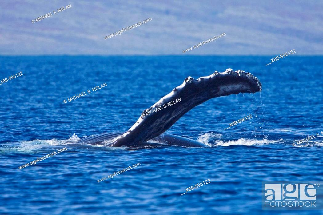 Stock Photo: Young humpback whale (Megaptera novaeangliae) pectoral fin slapping in the AuAu Channel between the islands of Maui and Lanai, Hawaii, USA.