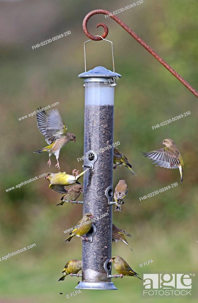 Stock Photo: European Greenfinch Carduelis chloris flock, feeding and disputing perches at seed feeder, Norfolk, England, October.