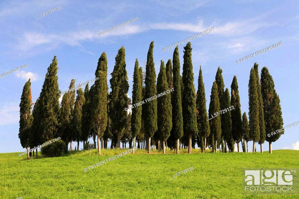 Stock Photo: Cypress, Italian Cypress, Cupressus sempervirens, hill countryside, agricultural landscape, Tuscany, Italy.