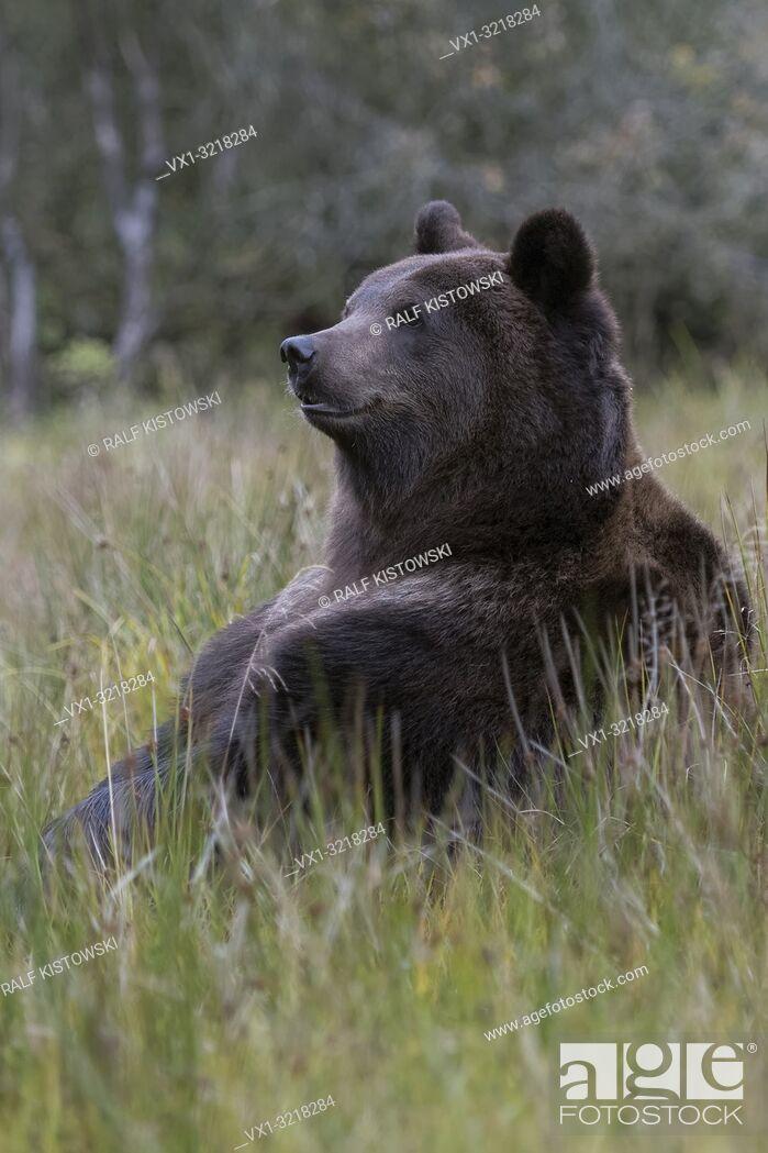 Stock Photo: European Brown Bear / Europaeischer Braunbaer ( Ursus arctos ) sitting on its butt in high grass of a bog, in funny pose, cute. .