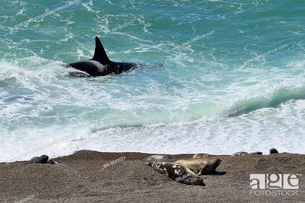 Imagen: Killer whale (Orcinus orca) searching for prey in front of gravel bank with Southern elephant seals (Mirounga leonina), peninsula Valdes, Chubut, Argentina.