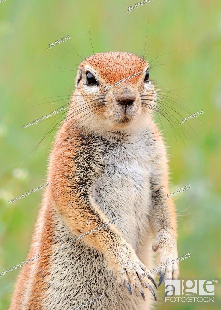 Stock Photo: Cape ground squirrel, Xerus inauris, Kgalagadi Transfrontier Park, Northern Cape, South Africa.