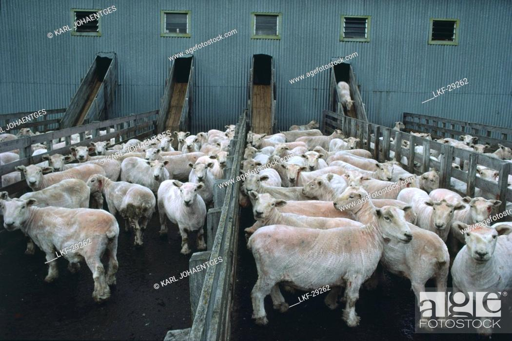 Shorn Sheep Shearing Shed North Island New Zealand Stock
