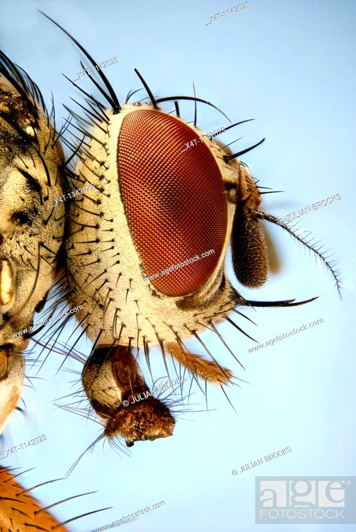 Stock Photo: Extreme close up of the head of a fly showing the hexagonal structure of the compound eye.