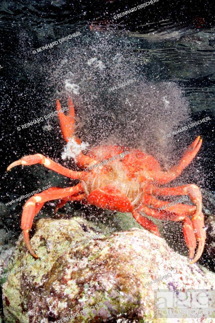 Christmas Island Red Crab Release Eggs Into Ocean Gecarcoidea