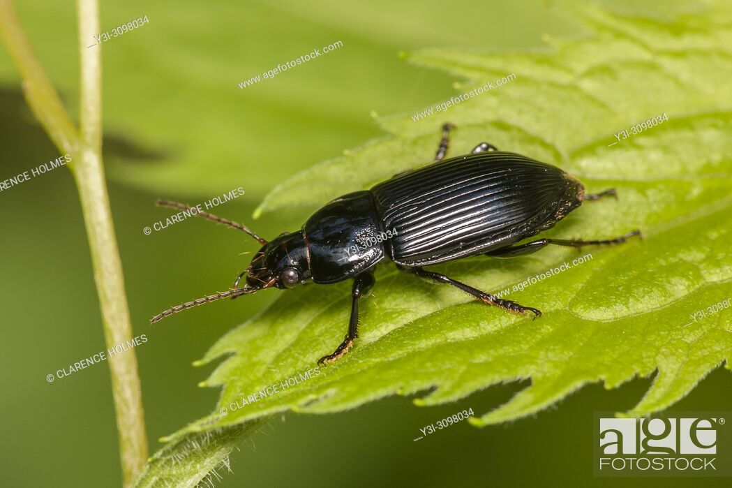 Stock Photo: A Woodland Ground Beetle (Pterostichus sp. ) perches on a leaf.