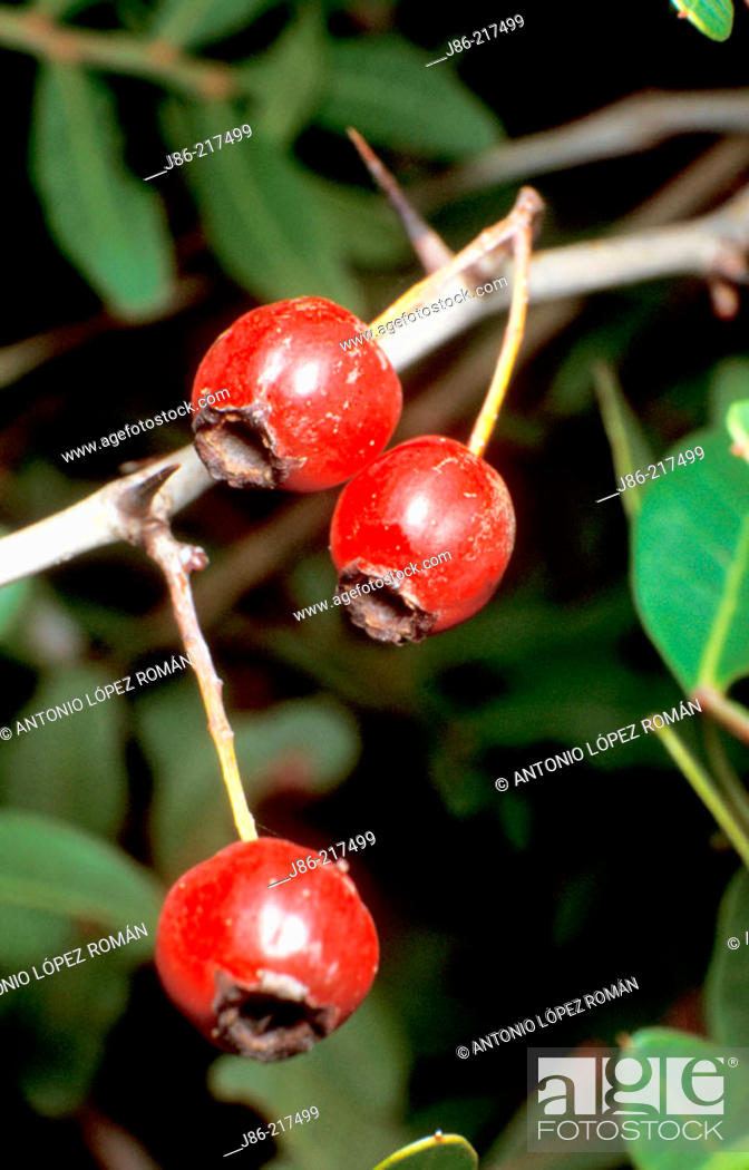 Stock Photo: Common Hawthorn (Crataegus monogyna) fruits.
