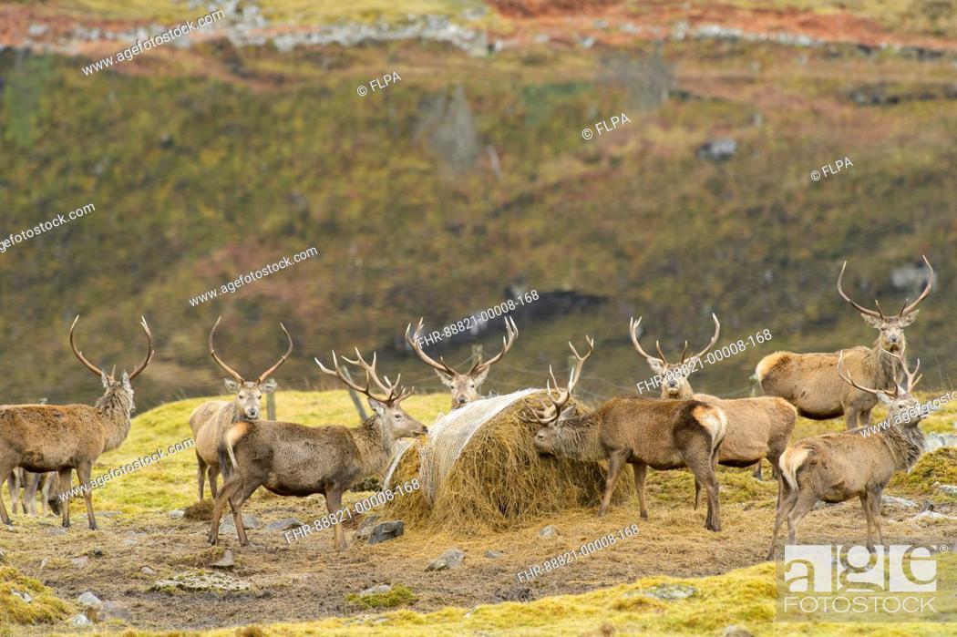Stock Photo: Red deer (Cervus elaphus) being fed. Glen Cannich, February 2016.