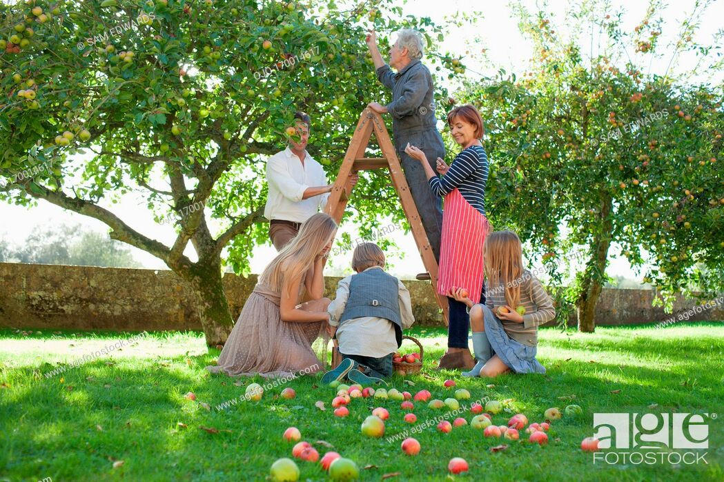 Stock Photo: Multi-generation family harvesting apples in orchard.