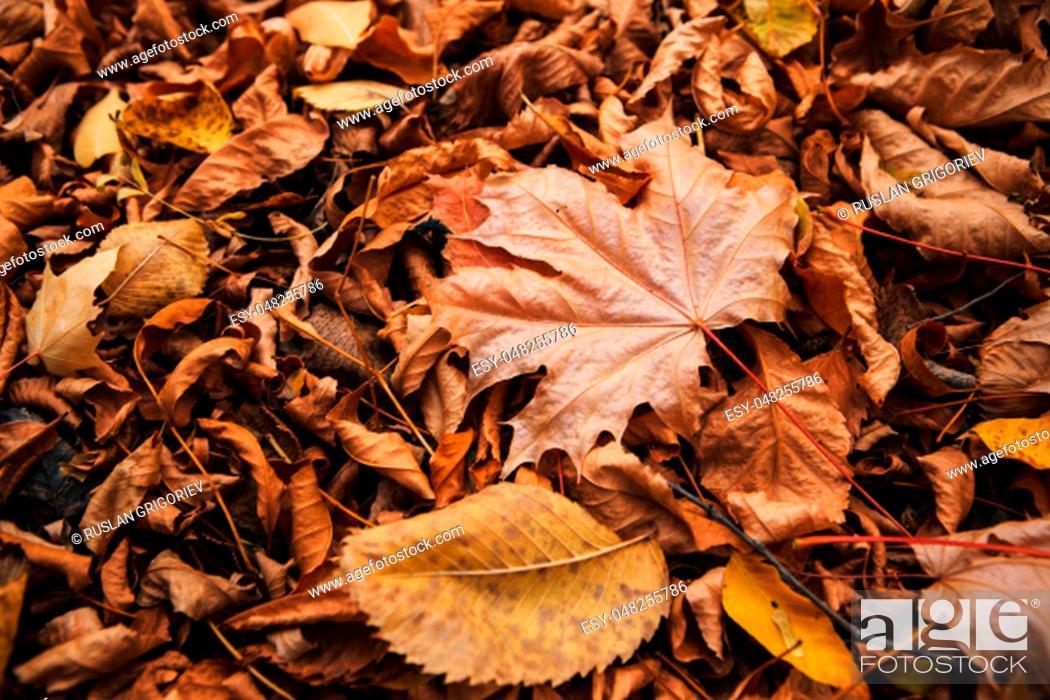Photo de stock: colorful red orange autumn leaves close up.