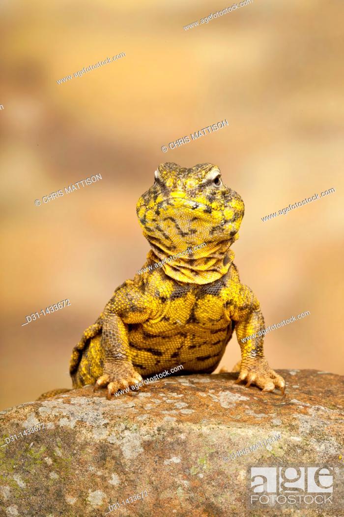 Stock Photo: Saharan or Geyr's dab lizard, Uromastyx geyri.