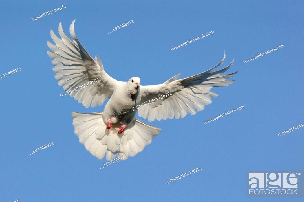 Stock Photo: White dove in flight.