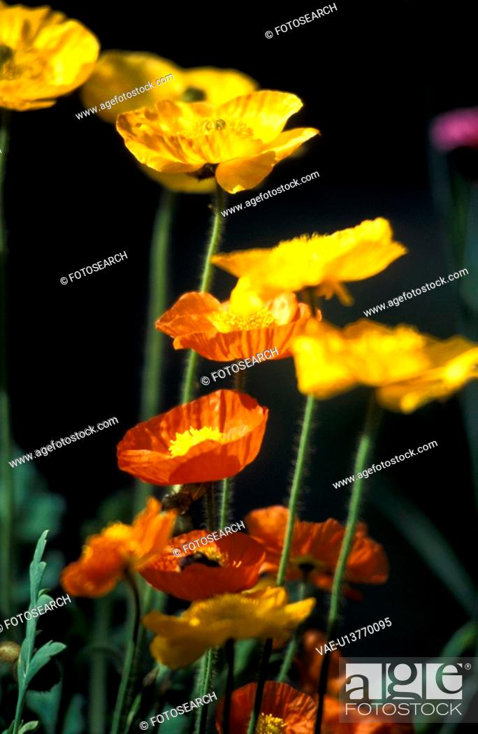 Stock Photo: Bernhard, blossom, blooms, bloom, abloom.