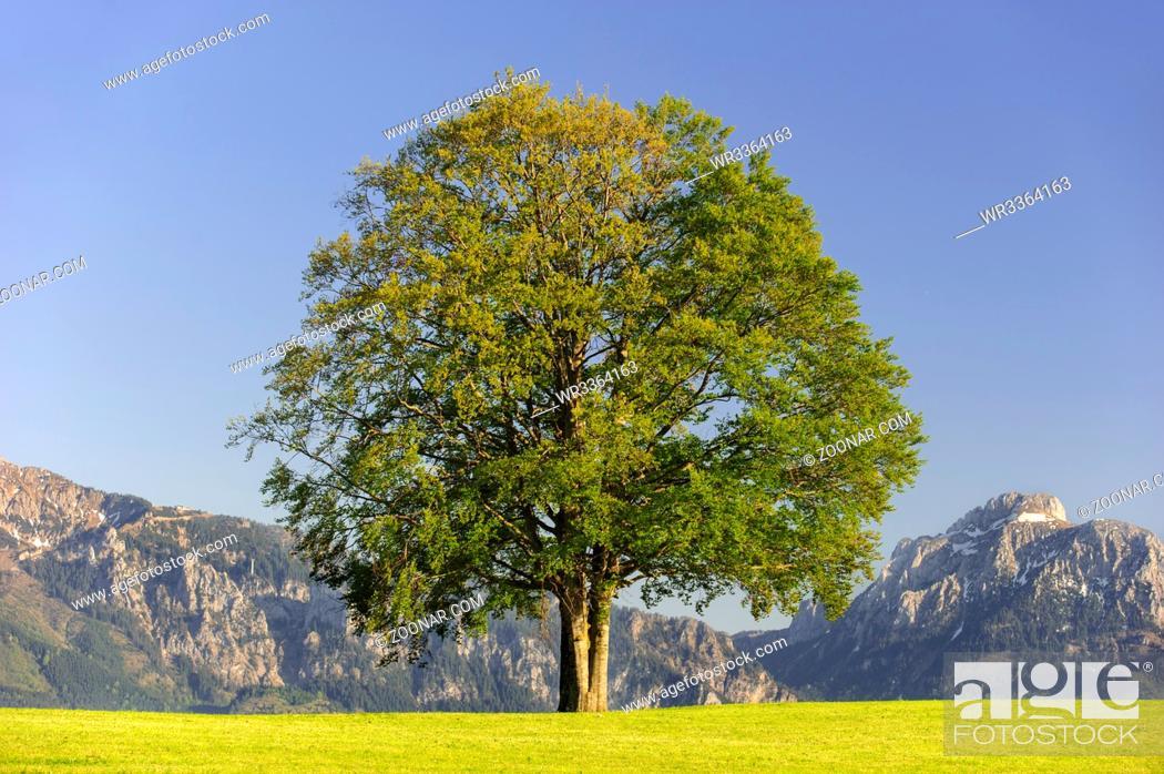 Stock Photo: single big beech tree in field with perfect treetop.