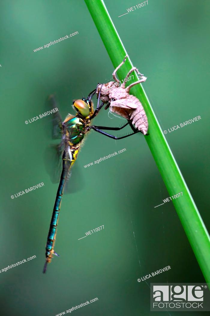 Stock Photo: A new born dragonfly with exuviae.