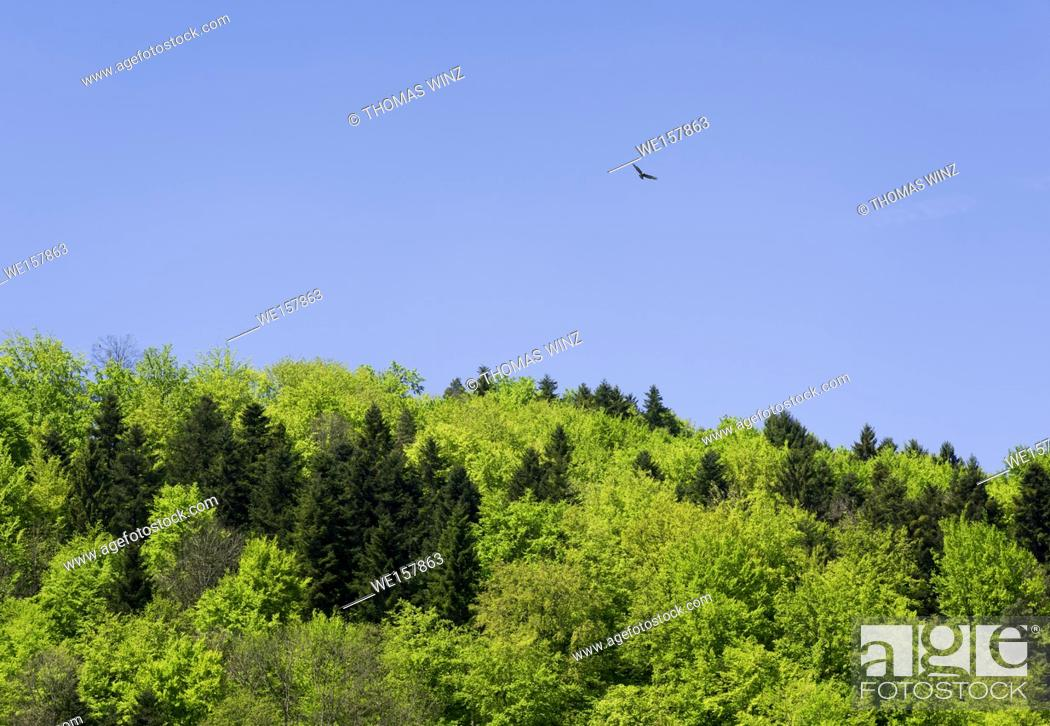 Stock Photo: Hawk hovering above a forest. Horb am Neckar, Baden Württemberg, Germany.
